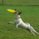 Jack Russell Frisbee 1