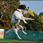 Jack Russell Frisbee 2