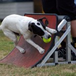 Jack Russell Flyball
